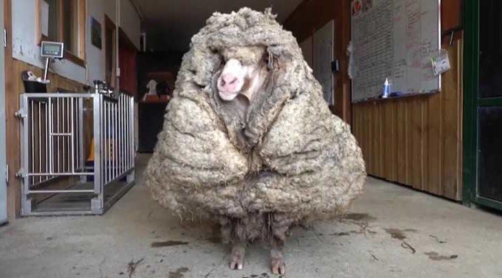 Baarack, la oveja rescatada.